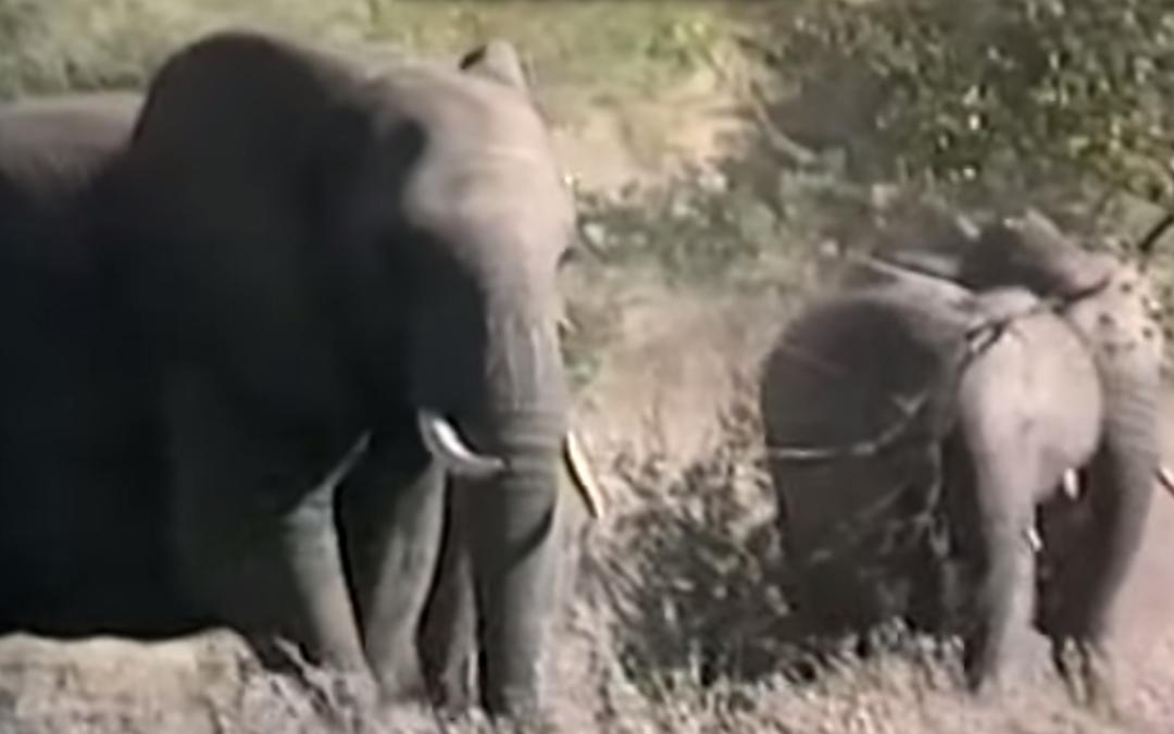 Fatherless Elephants